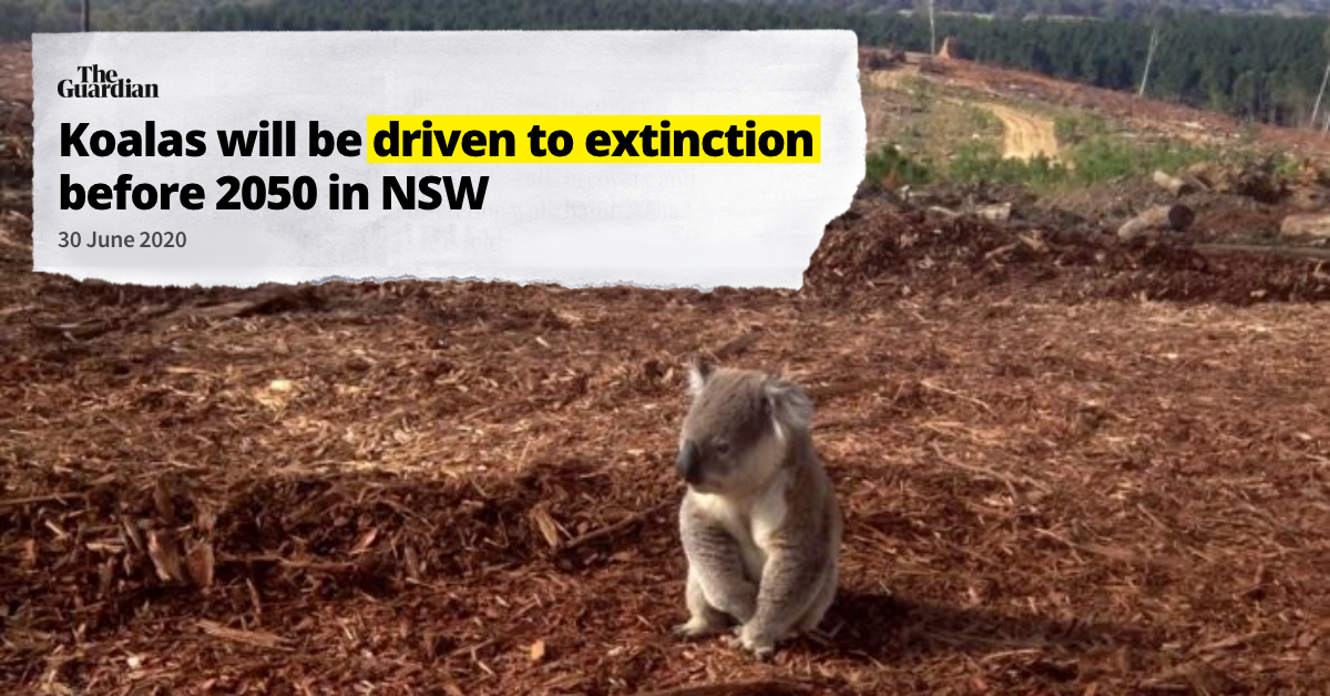 "Image of koala surrounded by cleared land. Headline reading ""Koalas will be driven to extinction in NSW 2050"""
